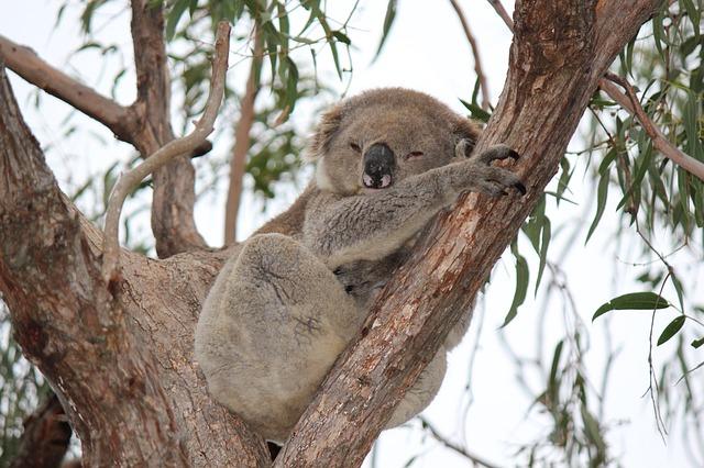 koala na strome
